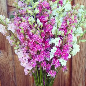 Larkspur (Delpinium consolida). Some of our larkspur will be pressed and turned into beautiful jewelry by Kallie at Brambly Banks this year.